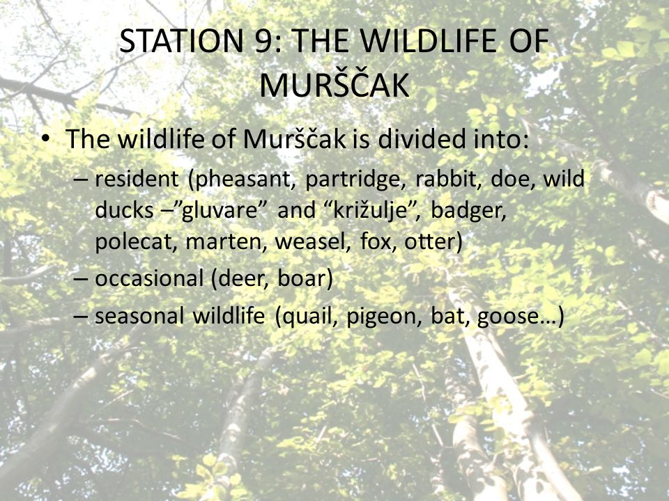 STATION 9: THE WILDLIFE OF MURŠČAK The wildlife of Murščak is divided into: – resident (pheasant, partridge, rabbit, doe, wild ducks – gluvare and križulje , badger, polecat, marten, weasel, fox, otter) – occasional (deer, boar) – seasonal wildlife (quail, pigeon, bat, goose…)