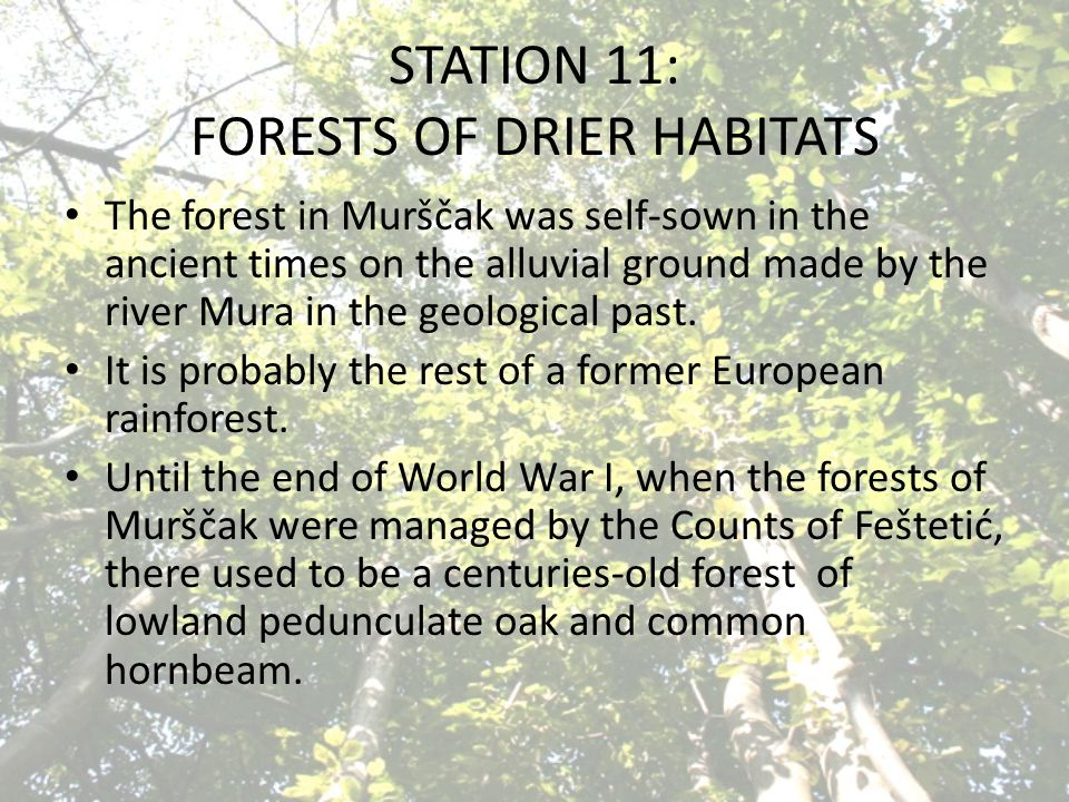 STATION 11: FORESTS OF DRIER HABITATS The forest in Murščak was self-sown in the ancient times on the alluvial ground made by the river Mura in the geological past.