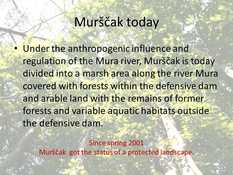Murščak today Under the anthropogenic influence and regulation of the Mura river, Murščak is today divided into a marsh area along the river Mura cove