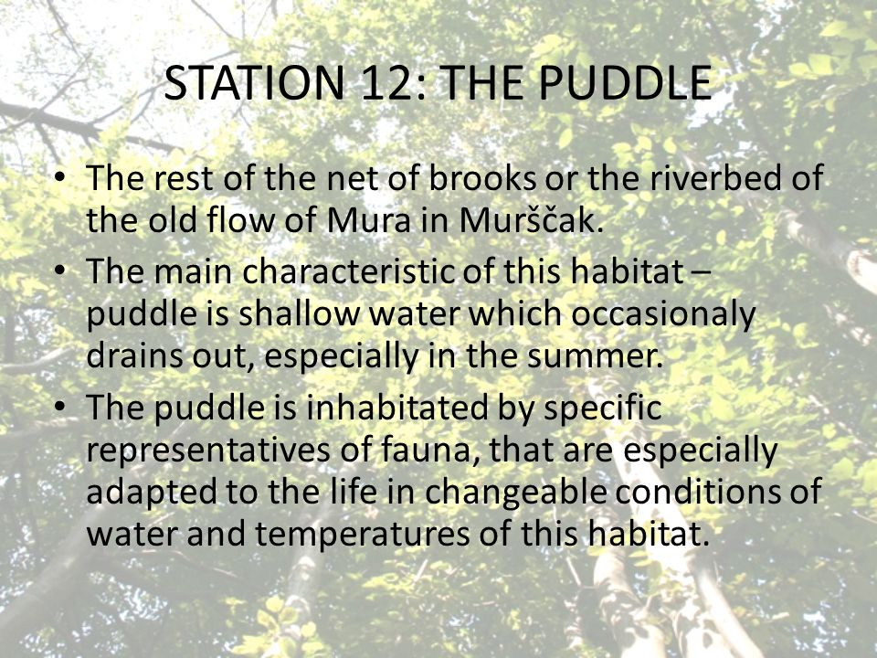STATION 12: THE PUDDLE The rest of the net of brooks or the riverbed of the old flow of Mura in Murščak. The main characteristic of this habitat – pud
