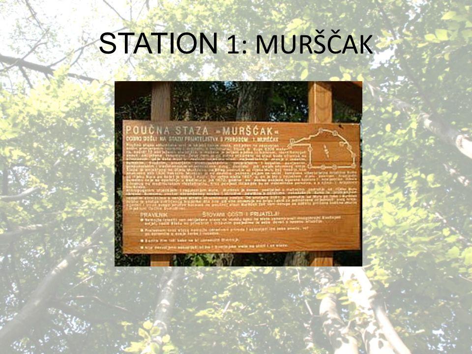 STATION 1: MURŠČAK