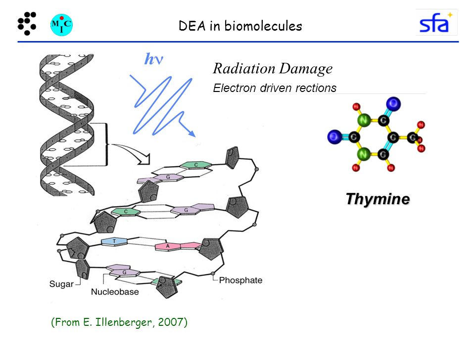 Radiation Damage Electron driven rections (From E. Illenberger, 2007) DEA in biomolecules Thymine