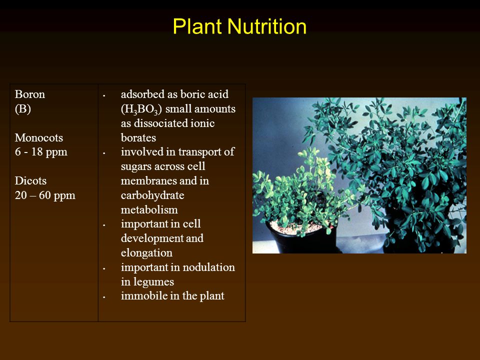 Plant Nutrition Boron (B) Monocots 6 - 18 ppm Dicots 20 – 60 ppm adsorbed as boric acid (H 3 BO 3 ) small amounts as dissociated ionic borates involve