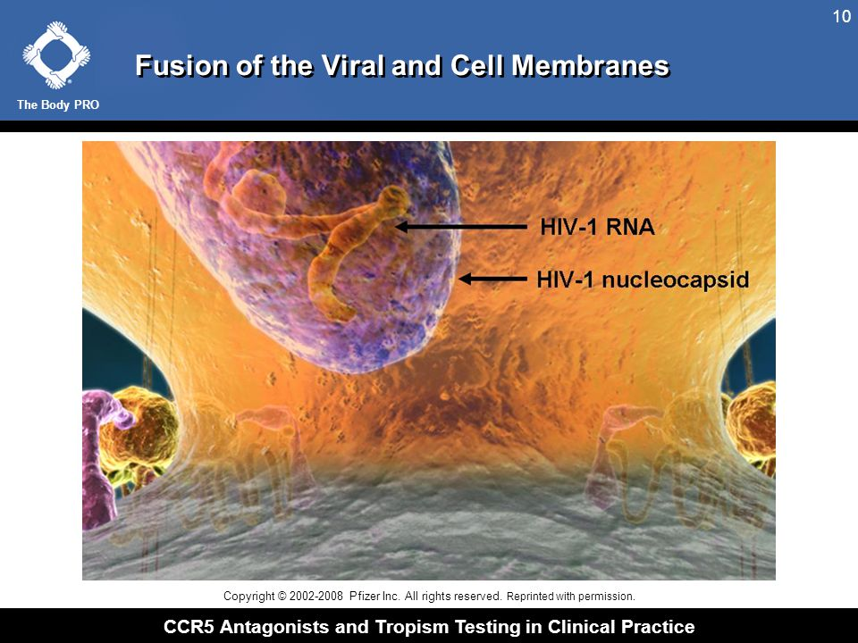 The Body PRO CCR5 Antagonists and Tropism Testing in Clinical Practice 10 Fusion of the Viral and Cell Membranes Copyright © 2002-2008 Pfizer Inc. All
