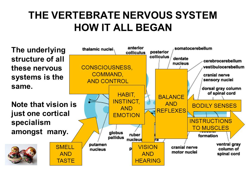 THE VERTEBRATE NERVOUS SYSTEM HOW IT ALL BEGAN As evolution continued, brains became larger and more powerful, and many functions of the optic tectum were taken over by the cerebral cortex.