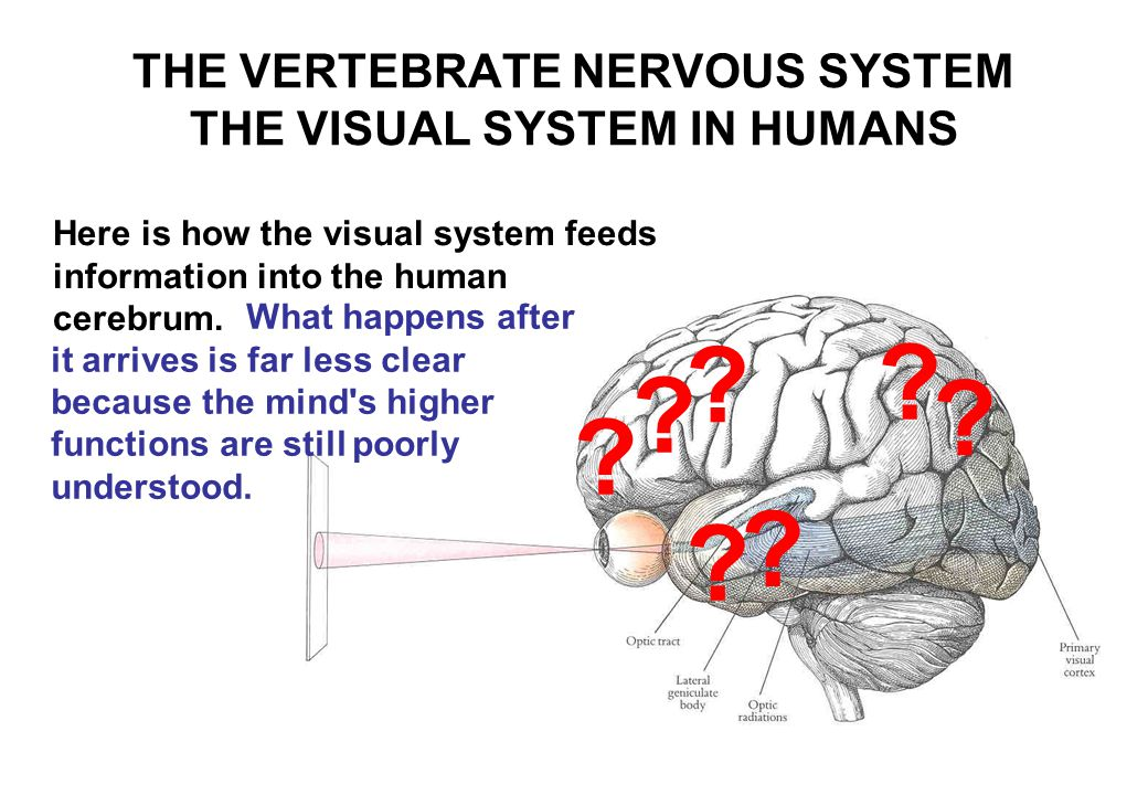 THE VERTEBRATE NERVOUS SYSTEM THE VISUAL SYSTEM IN HUMANS Here is how the visual system feeds information into the human cerebrum.