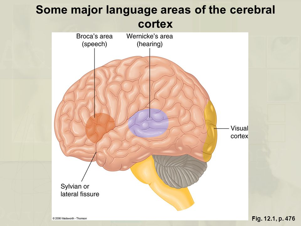 Fig. 12.1, p. 476 Some major language areas of the cerebral cortex