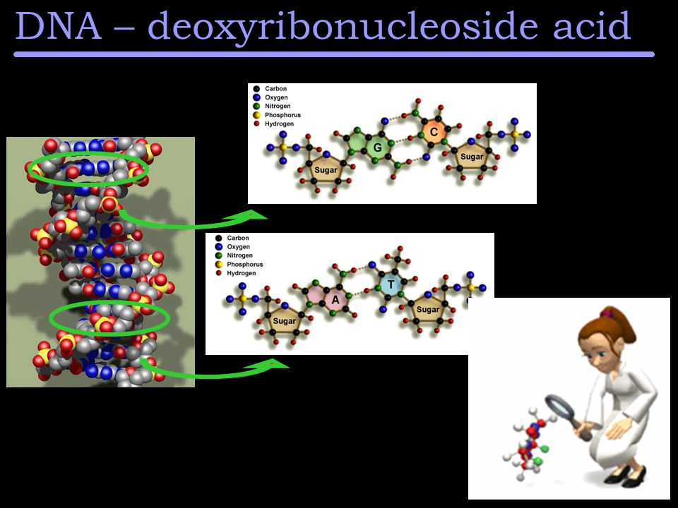 DNA – deoxyribonucleoside acid
