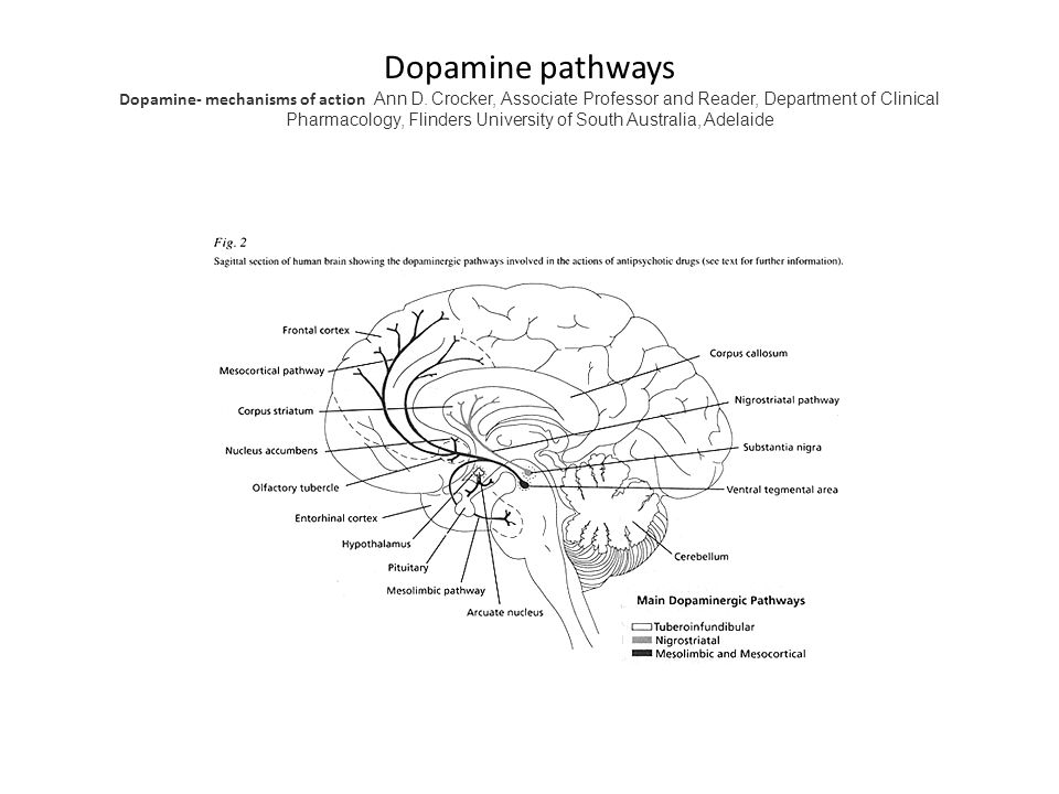 Dopamine pathways Dopamine- mechanisms of action Ann D. Crocker, Associate Professor and Reader, Department of Clinical Pharmacology, Flinders Univers