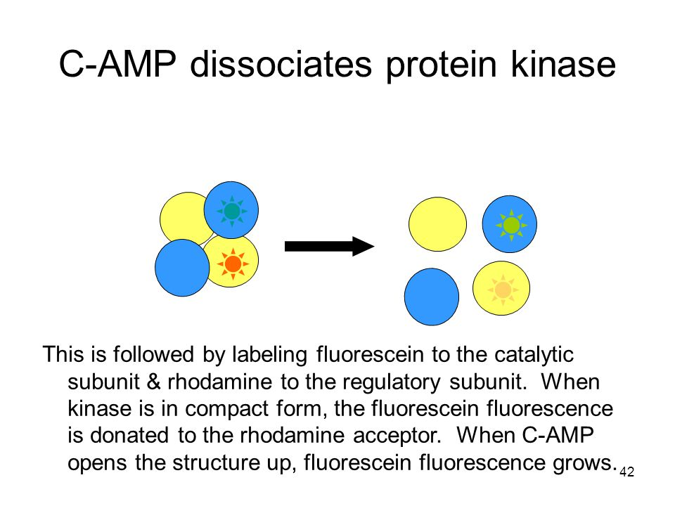 C-AMP dissociates protein kinase This is followed by labeling fluorescein to the catalytic subunit & rhodamine to the regulatory subunit.