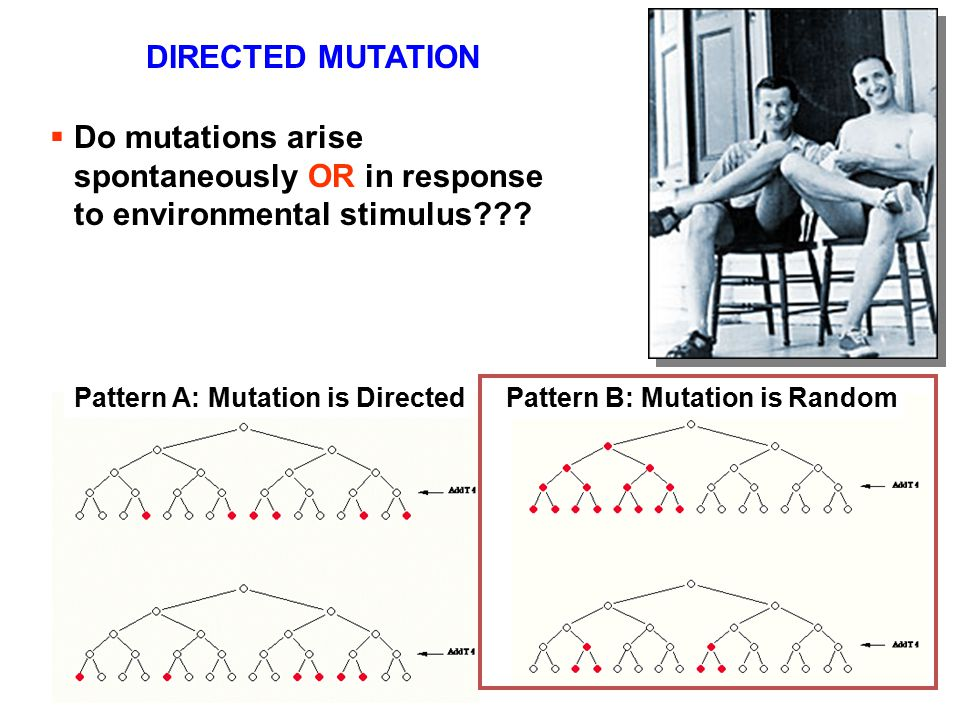  Do mutations arise spontaneously OR in response to environmental stimulus??? Pattern A: Mutation is DirectedPattern B: Mutation is Random DIRECTED M
