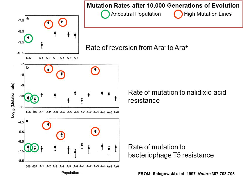 Mutation Rates after 10,000 Generations of Evolution Ancestral PopulationHigh Mutation Lines FROM: Sniegowski et al. 1997. Nature 387:703-705 Rate of