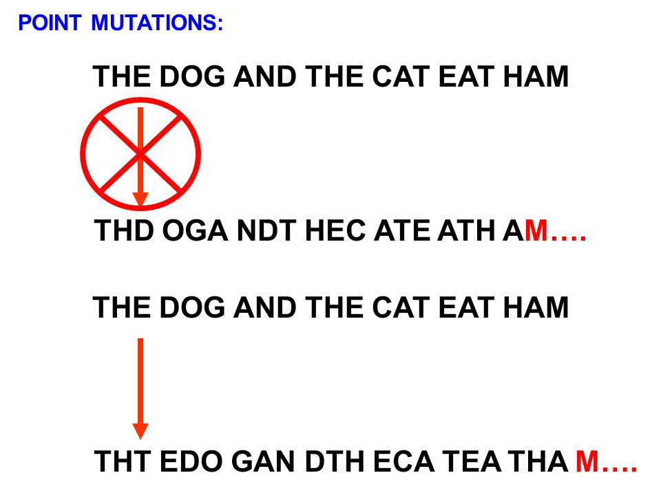 POINT MUTATIONS: THE DOG AND THE CAT EAT HAM THD OGA NDT HEC ATE ATH AM…. THE DOG AND THE CAT EAT HAM THT EDO GAN DTH ECA TEA THA M….