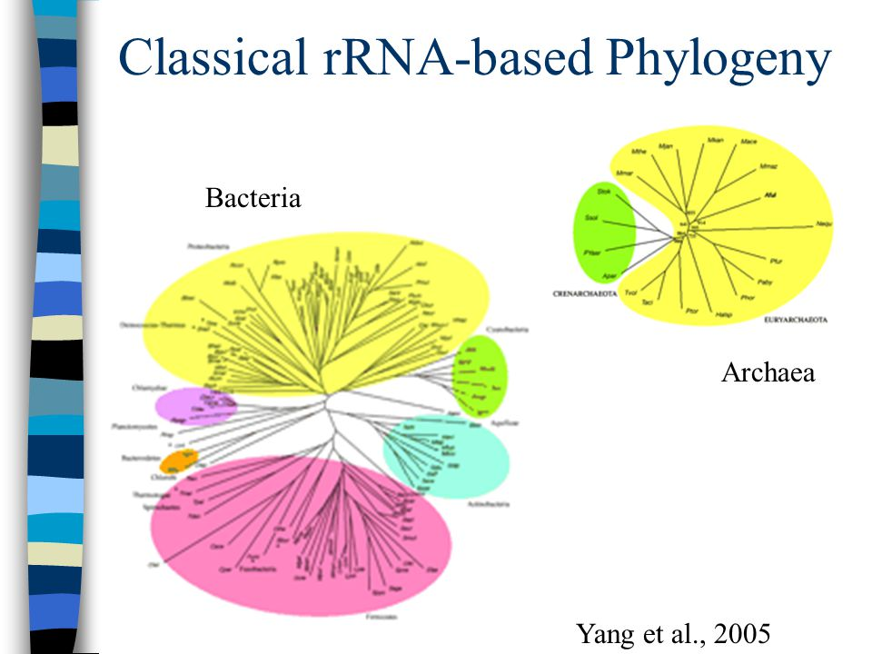 Classical rRNA-based Phylogeny Archaea Bacteria Yang et al., 2005
