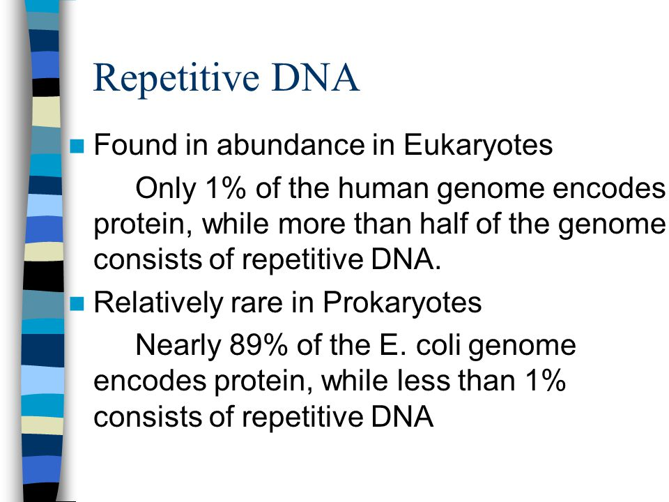 Repetitive DNA Found in abundance in Eukaryotes Only 1% of the human genome encodes protein, while more than half of the genome consists of repetitive DNA.