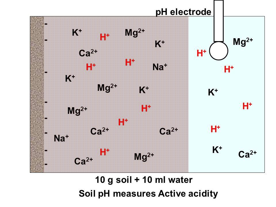 - - - - - - - - Mg 2+ K+K+ H+H+ Ca 2+ Mg 2+ K+K+ Ca 2+ Na + K+K+ H+H+ Ca 2+ K+K+ Mg 2+ K+K+ H+H+ H+H+ H+H+ Ca 2+ Mg 2+ K+K+ H+H+ Soil pH measures Active acidity 10 g soil + 10 ml water pH electrode H+H+ H+H+ H+H+ H+H+