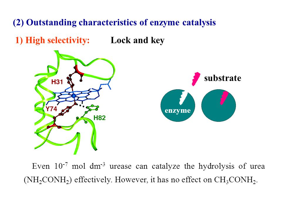 (2) Outstanding characteristics of enzyme catalysis 1) High selectivity: substrate enzyme Lock and key Even 10 -7 mol dm -3 urease can catalyze the hy
