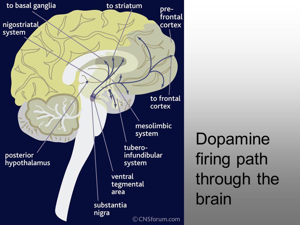 Dopamine firing path through the brain
