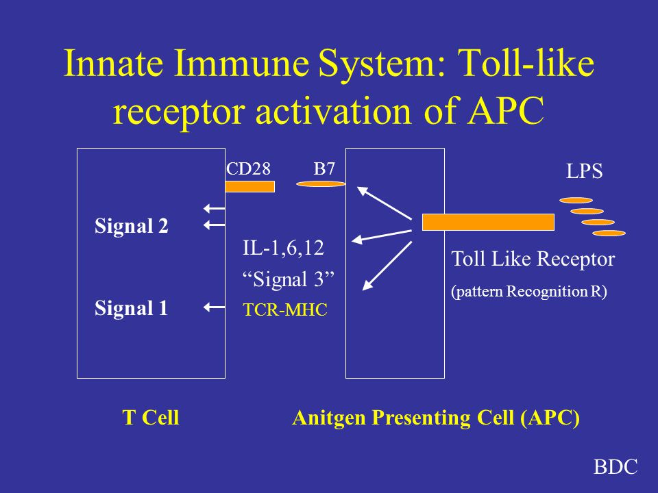 Innate Immune System: Toll-like receptor activation of APC T Cell CD28B7 TCR-MHC LPS Toll Like Receptor (pattern Recognition R) IL-1,6,12 Signal 3 Signal 2 Signal 1 Anitgen Presenting Cell (APC) BDC