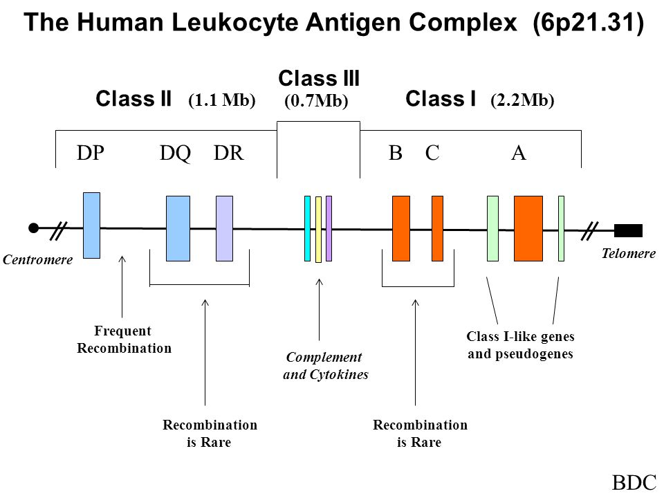 The Human Leukocyte Antigen Complex (6p21.31) DP DQ DR B C A Class II (1.1 Mb) Class III Class I (2.2Mb) Complement and Cytokines Class I-like genes and pseudogenes Frequent Recombination is Rare Telomere Centromere Recombination is Rare (0.7Mb) BDC
