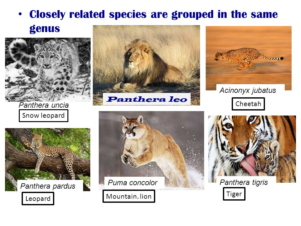 Closely related species are grouped in the same genus Panthera leo Panthera uncia Panthera pardus Puma concolor Panthera tigris Acinonyx jubatus Snow