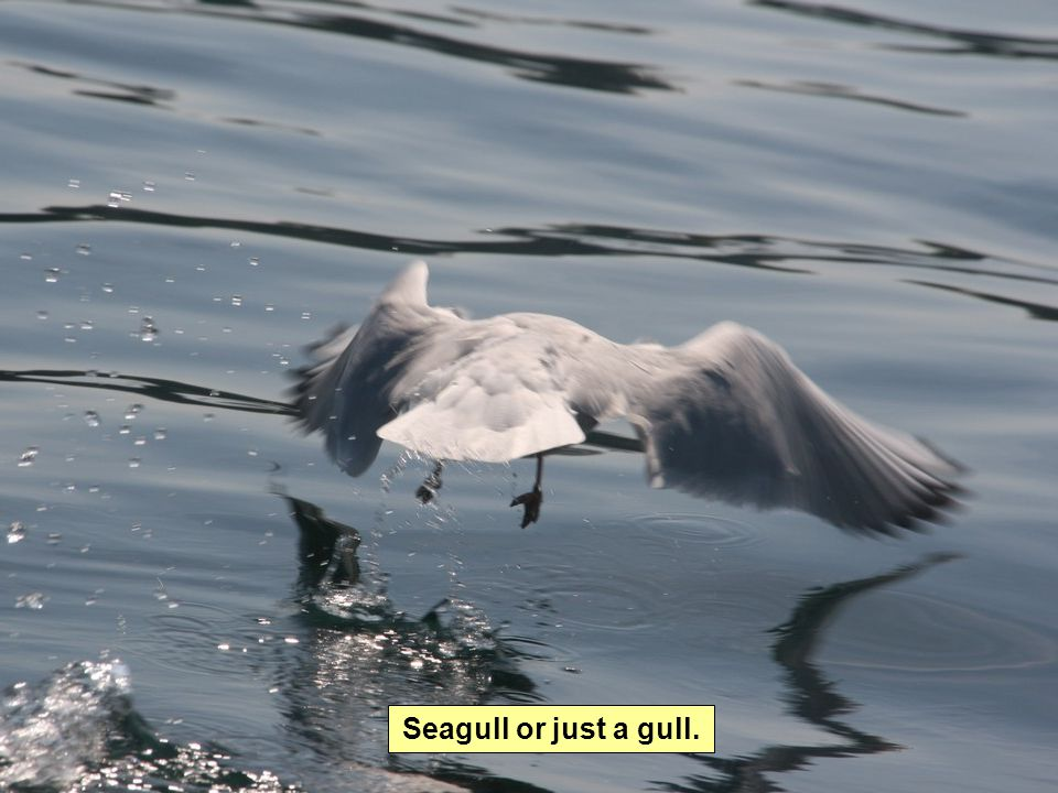 Seagull or just a gull.