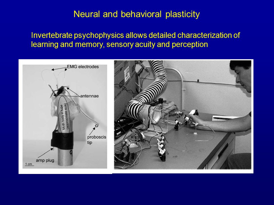 Invertebrate psychophysics allows detailed characterization of learning and memory, sensory acuity and perception Neural and behavioral plasticity