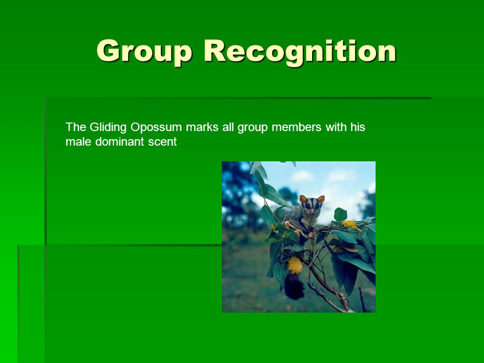 Group Recognition The Gliding Opossum marks all group members with his male dominant scent