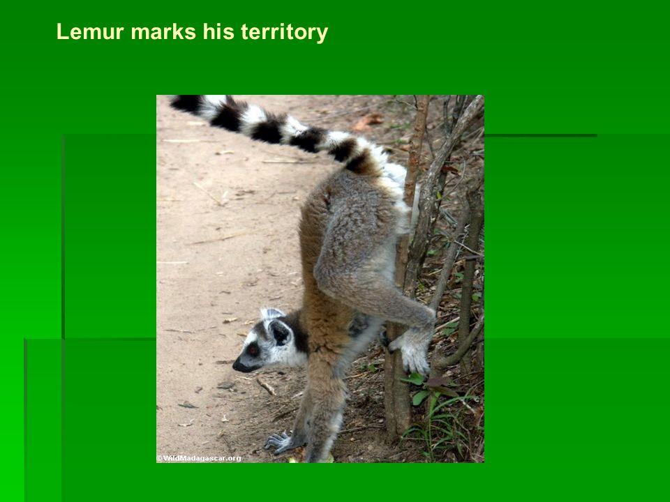 Lemur marks his territory
