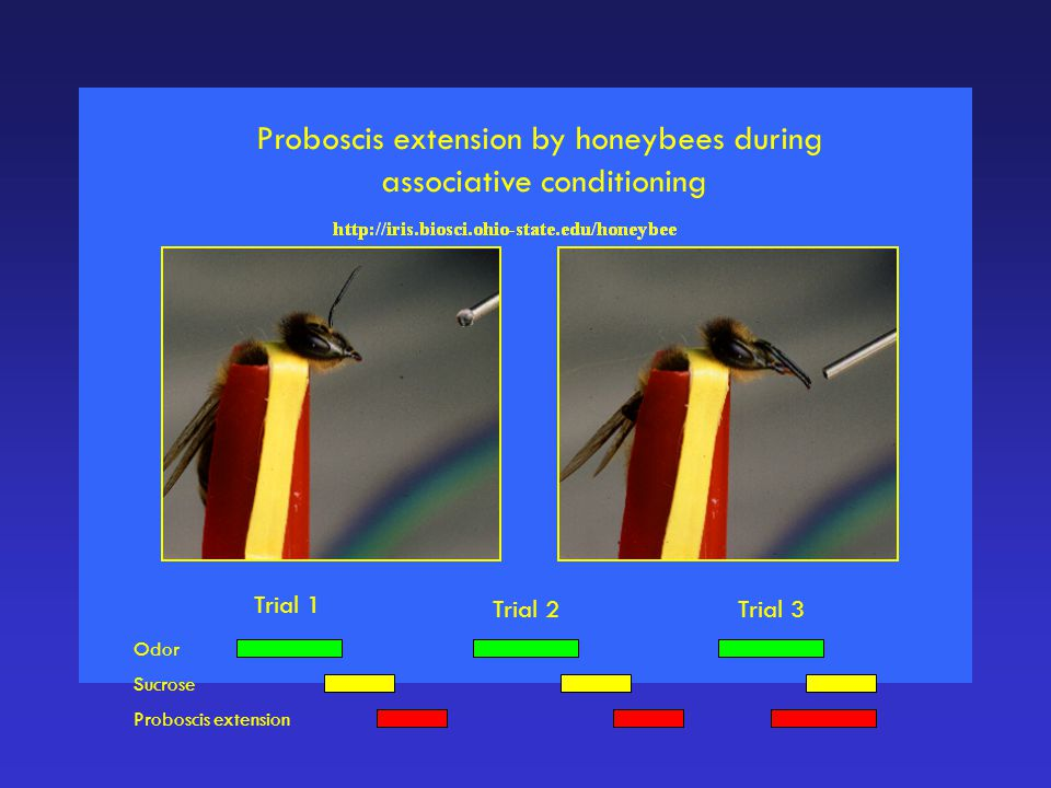 Proboscis extension by honeybees during associative conditioning Trial 1 Trial 2Trial 3 Odor Sucrose Proboscis extension