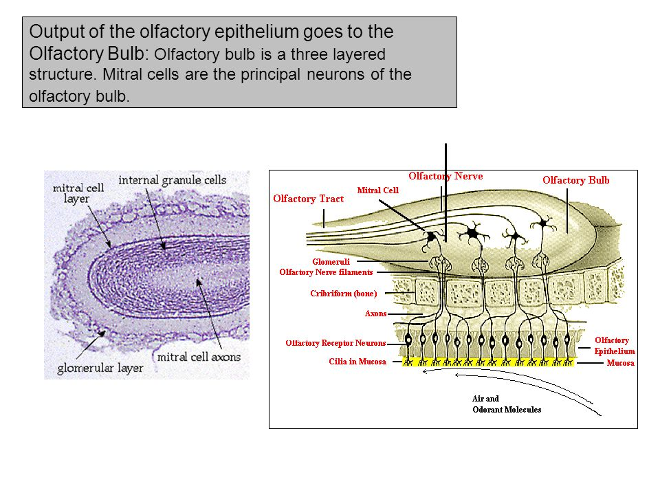 Output of the olfactory epithelium goes to the Olfactory Bulb: Olfactory bulb is a three layered structure.