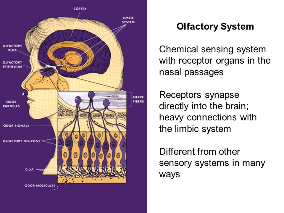 Olfactory System Chemical sensing system with receptor organs in the nasal passages Receptors synapse directly into the brain; heavy connections with the limbic system Different from other sensory systems in many ways