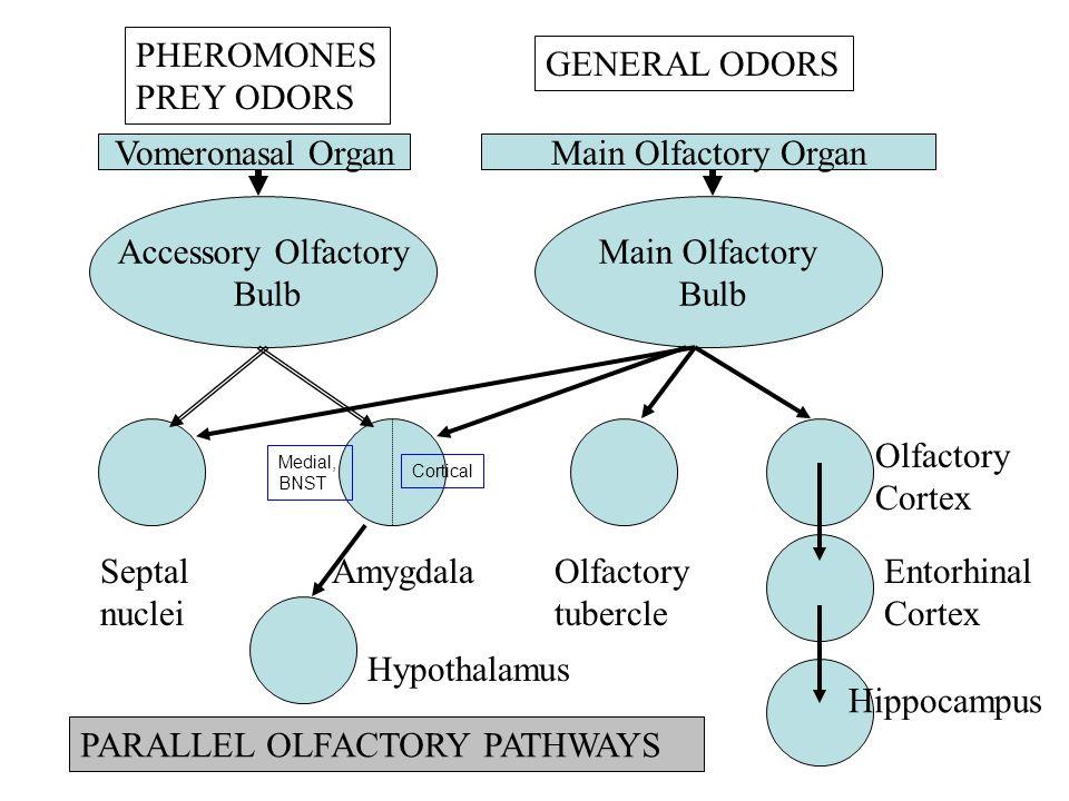 Accessory Olfactory Bulb Main Olfactory Bulb Vomeronasal OrganMain Olfactory Organ Septal nuclei AmygdalaOlfactory tubercle Olfactory Cortex PHEROMONES PREY ODORS GENERAL ODORS Entorhinal Cortex Hippocampus PARALLEL OLFACTORY PATHWAYS Medial, BNST Cortical Hypothalamus