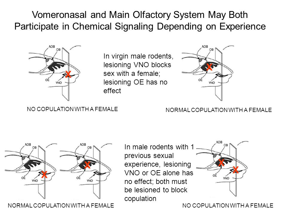 Vomeronasal and Main Olfactory System May Both Participate in Chemical Signaling Depending on Experience In virgin male rodents, lesioning VNO blocks
