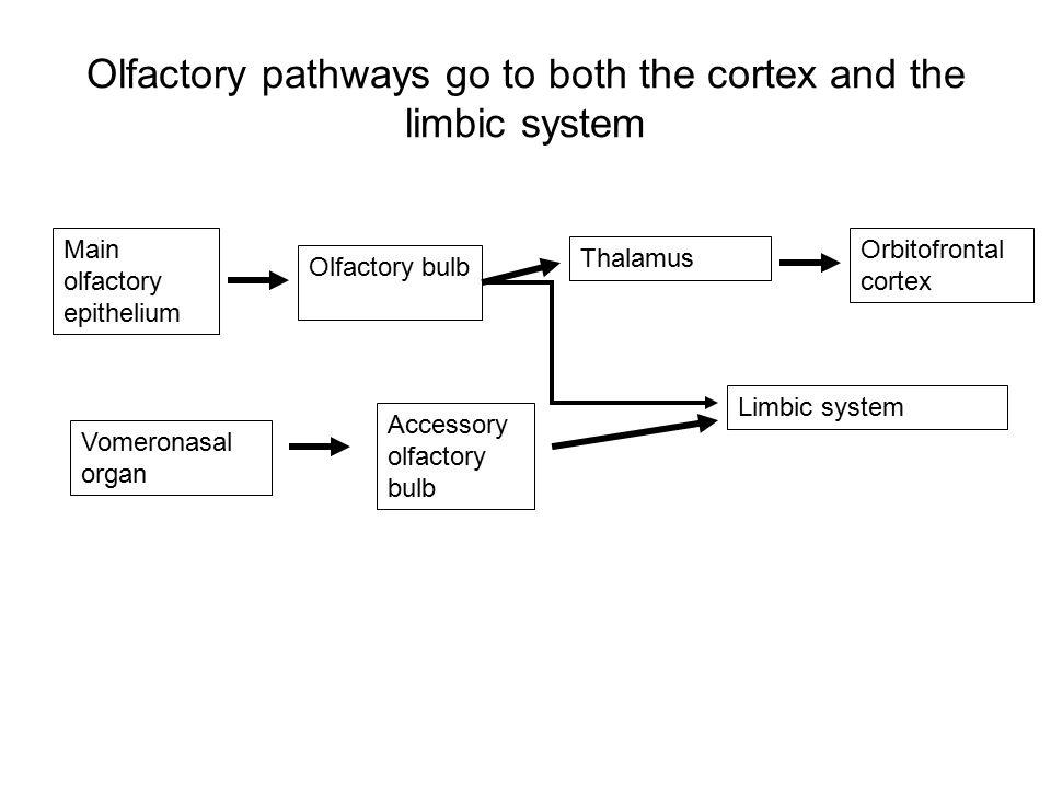 Olfactory pathways go to both the cortex and the limbic system Main olfactory epithelium Olfactory bulb Thalamus Limbic system Vomeronasal organ Accessory olfactory bulb Orbitofrontal cortex