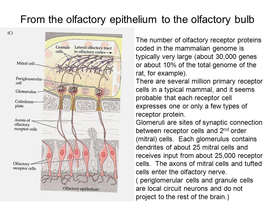 From the olfactory epithelium to the olfactory bulb The number of olfactory receptor proteins coded in the mammalian genome is typically very large (about 30,000 genes or about 10% of the total genome of the rat, for example).