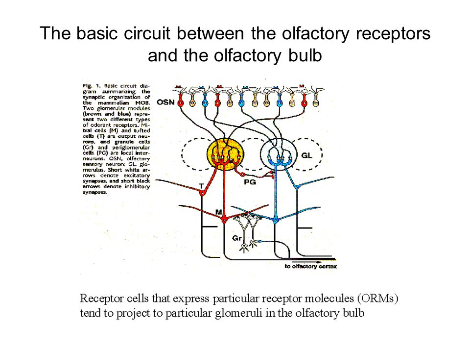 The basic circuit between the olfactory receptors and the olfactory bulb