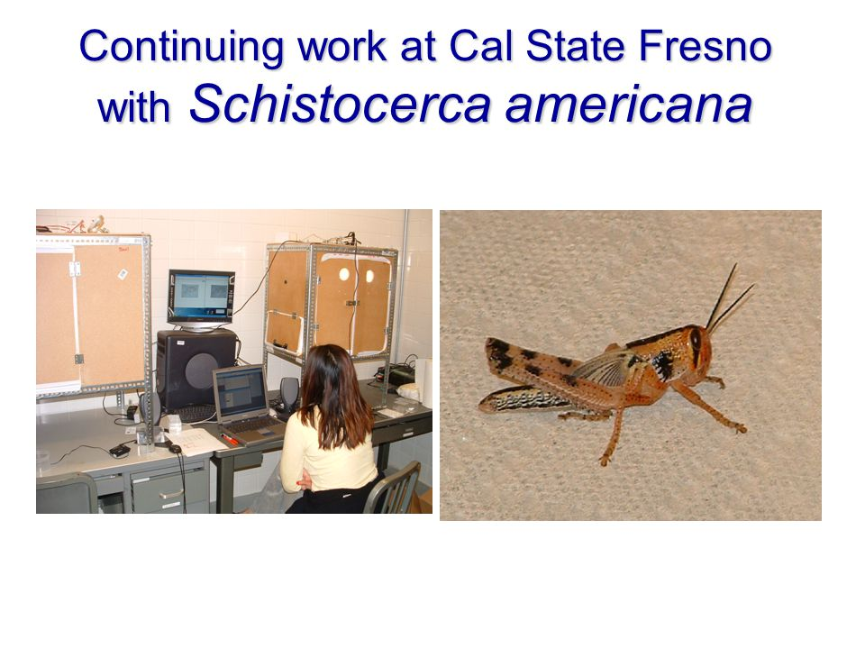 Continuing work at Cal State Fresno with Schistocerca americana
