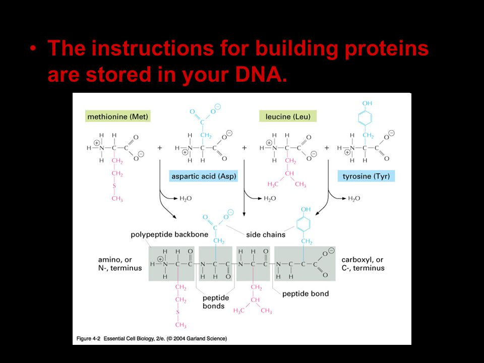 The instructions for building proteins are stored in your DNA.