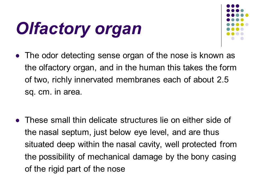 Olfactory organ The odor detecting sense organ of the nose is known as the olfactory organ, and in the human this takes the form of two, richly innervated membranes each of about 2.5 sq.