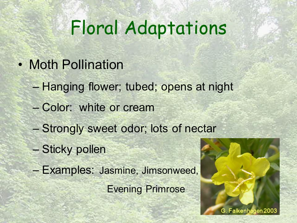 Floral Adaptations Moth Pollination –Hanging flower; tubed; opens at night –Color: white or cream –Strongly sweet odor; lots of nectar –Sticky pollen