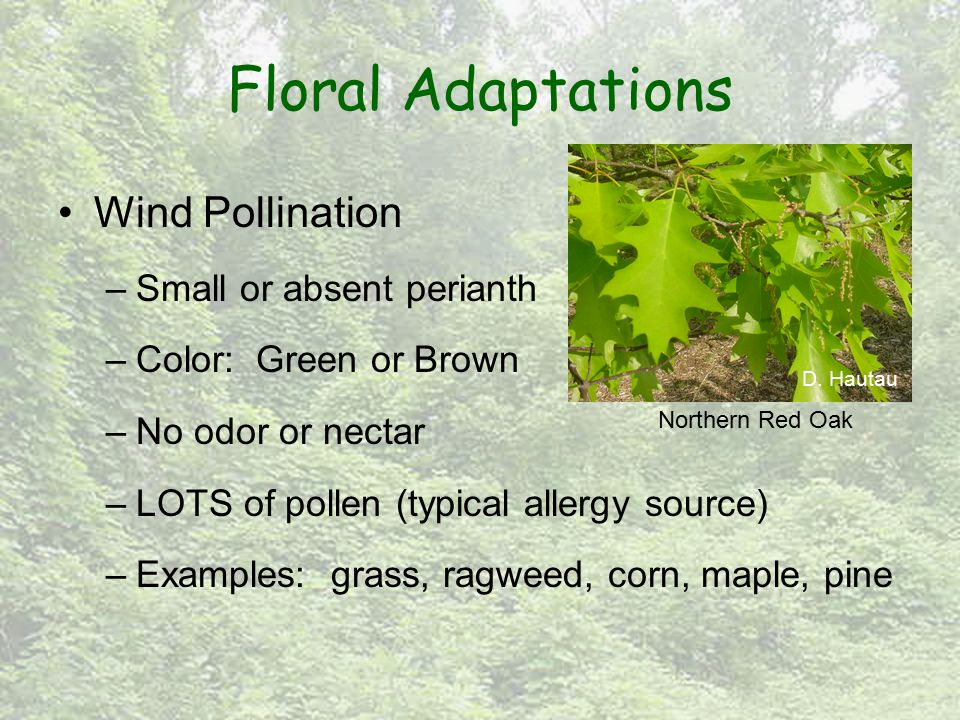 Floral Adaptations Wind Pollination –Small or absent perianth –Color: Green or Brown –No odor or nectar –LOTS of pollen (typical allergy source) –Exam