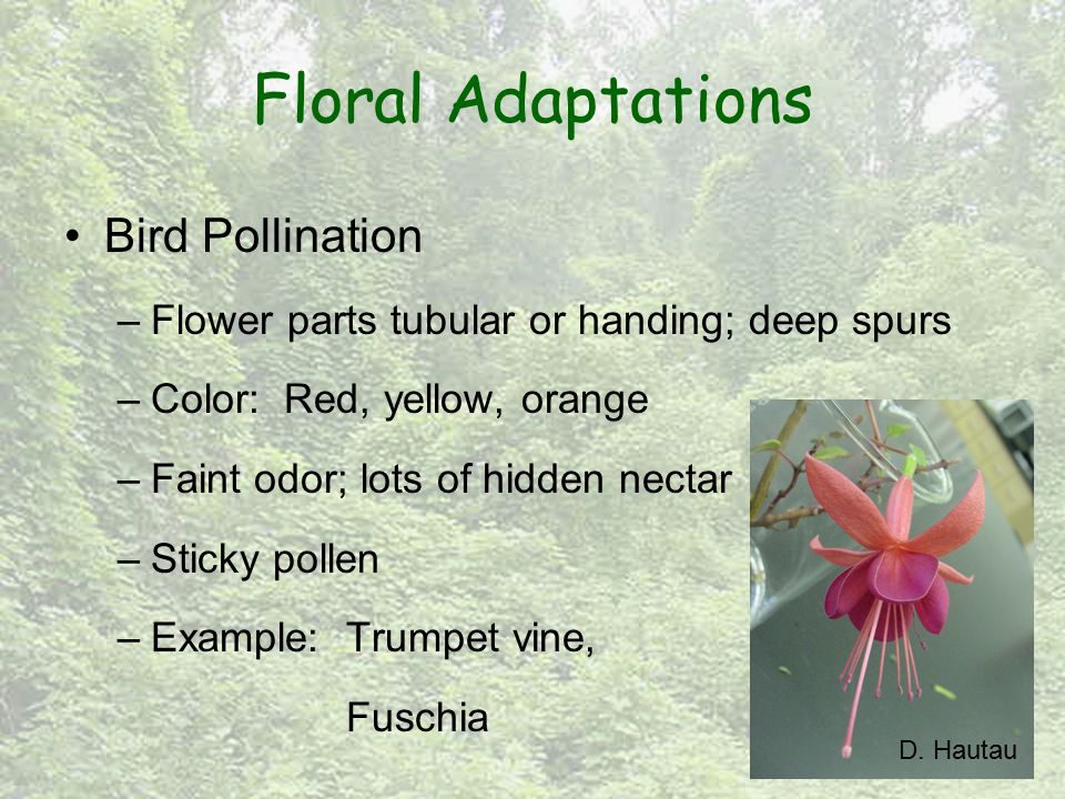 Floral Adaptations Bird Pollination –Flower parts tubular or handing; deep spurs –Color: Red, yellow, orange –Faint odor; lots of hidden nectar –Sticky pollen –Example: Trumpet vine, Fuschia D.