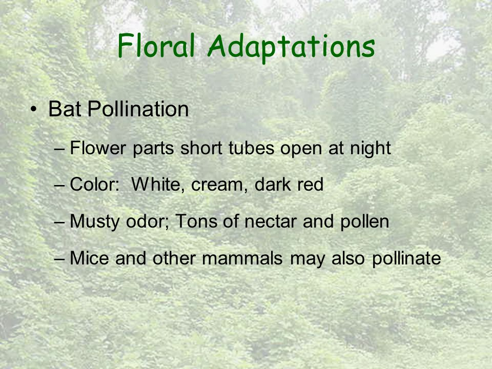 Floral Adaptations Bat Pollination –Flower parts short tubes open at night –Color: White, cream, dark red –Musty odor; Tons of nectar and pollen –Mice and other mammals may also pollinate
