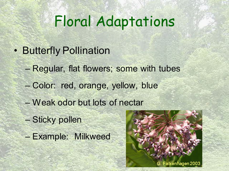 Floral Adaptations Butterfly Pollination –Regular, flat flowers; some with tubes –Color: red, orange, yellow, blue –Weak odor but lots of nectar –Stic