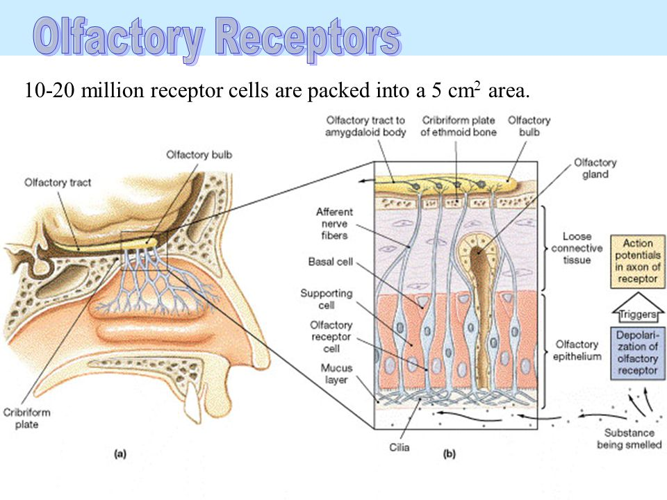 10-20 million receptor cells are packed into a 5 cm 2 area.