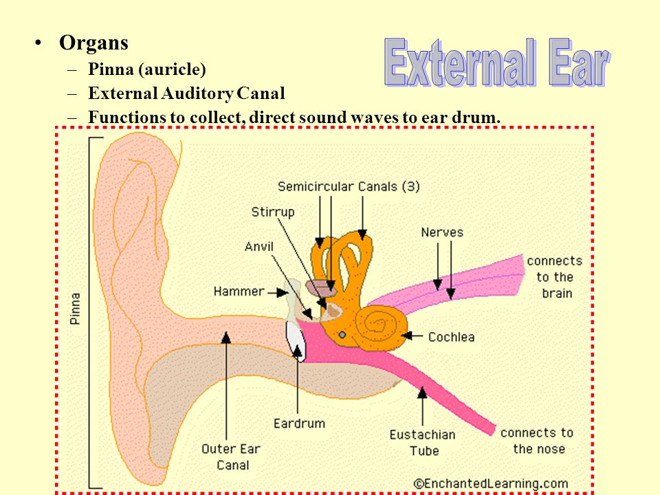 Organs –Pinna (auricle) –External Auditory Canal –Functions to collect, direct sound waves to ear drum.