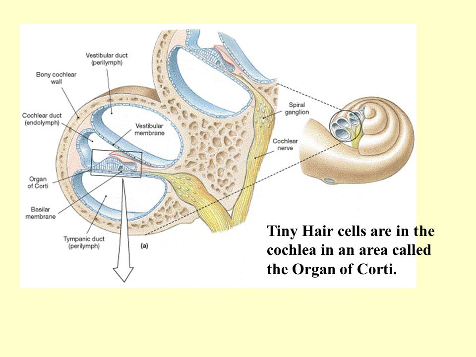 Tiny Hair cells are in the cochlea in an area called the Organ of Corti.