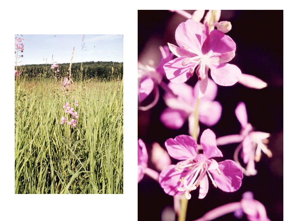 Foxgloves and outcrossing