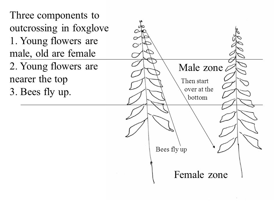 Female zone Male zone Bees fly up Then start over at the bottom Three components to outcrossing in foxglove 1. Young flowers are male, old are female